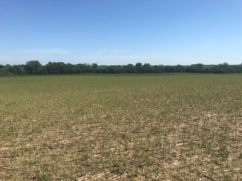 Hail damaged Iowa field