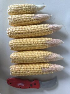 Drought damaged corn; photo courtesy of Meaghan Anderson, Extension Field Agronomist