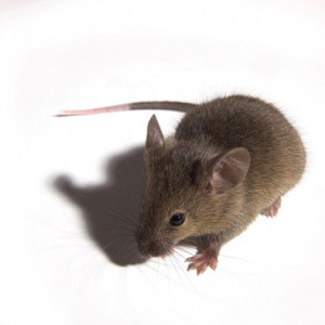 mouse white background2