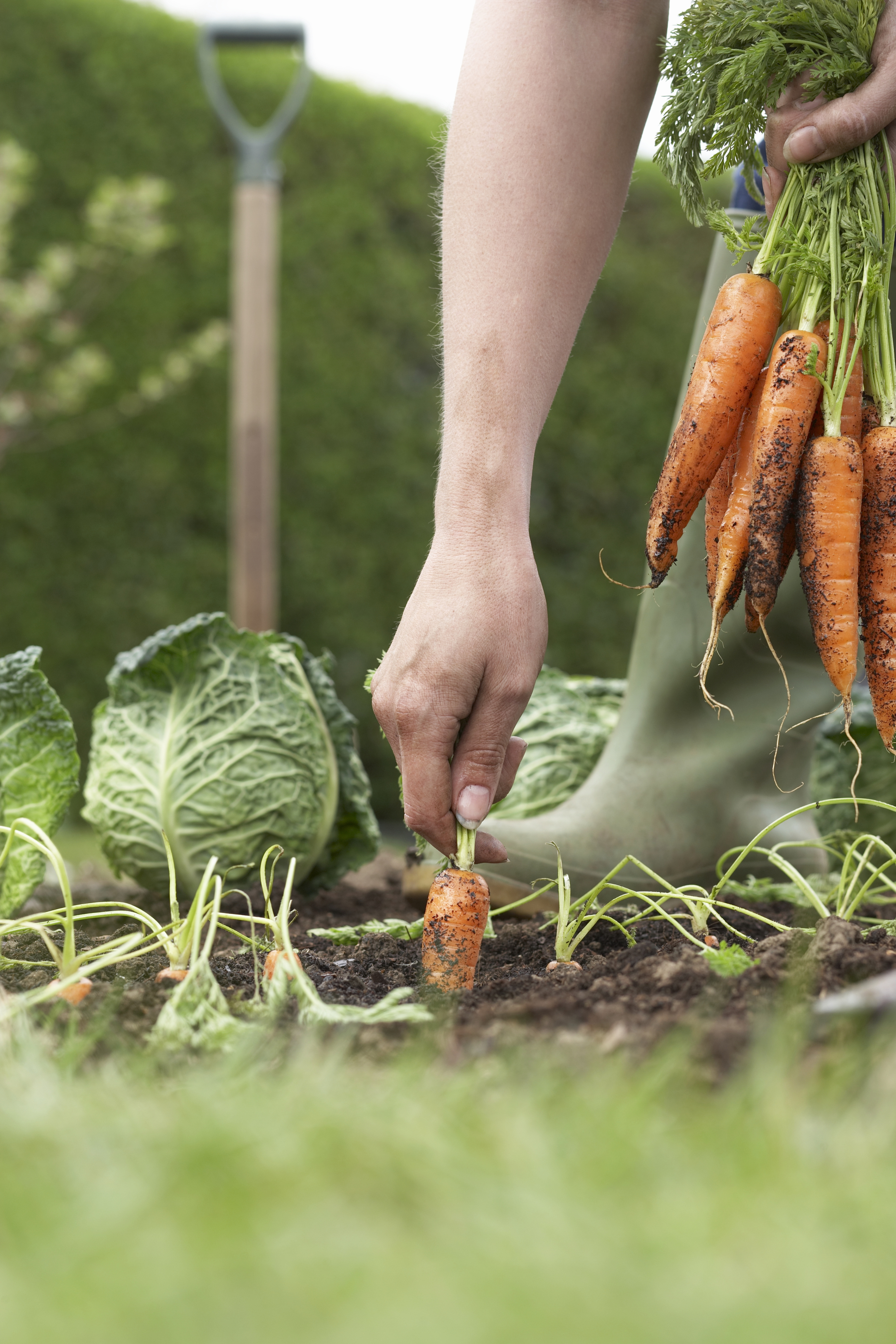 Nutrition words on wellness for How to pick lettuce from garden