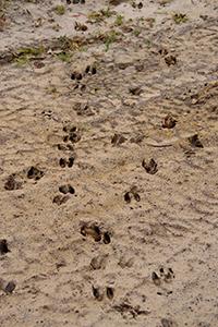 White-Tail Deer Tracks in Sand